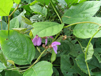 Канавалия— Canavalia ensimoformis (L.) DC.