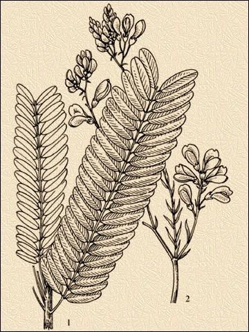Андира— Andira araroba Aguiar