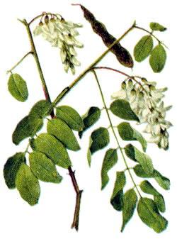 Акация катеху — Acacia catechu Willd.