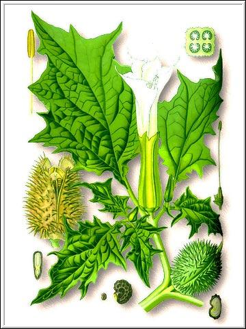 Дурман— виды Datura L.