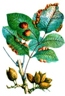 Фисташка мастичная, Мастиковое дерево—Pistacia kntiscus L.
