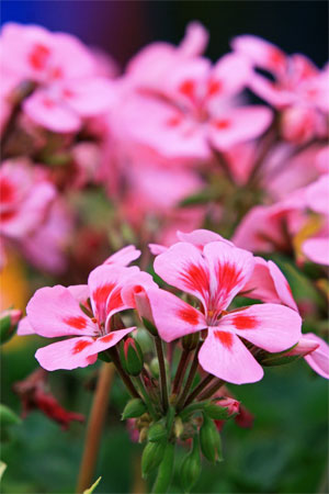 Герань розовая—Pelargonium roseum Willd.