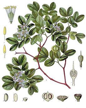 Гваяковое, Бакаутовое дерево