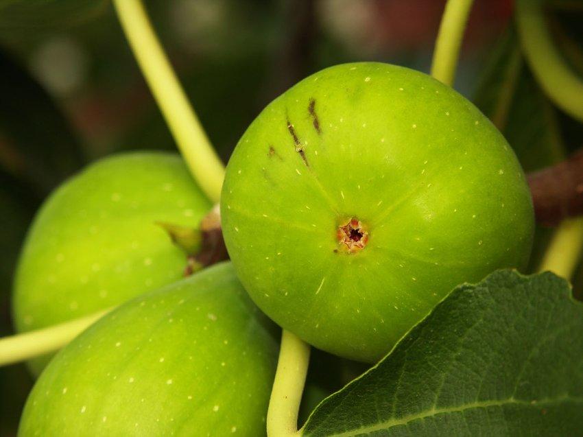Инжир, Смоковница, Винная ягода—Fucus carica L.
