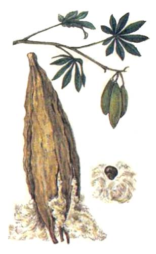 Капок, Хлопковое дерево— Ceiba pentandra (L.) Gaetn.