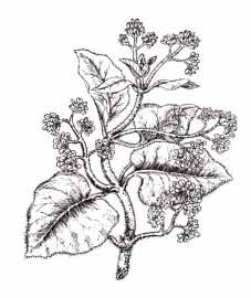 Кондуранго— Marsdenia condurango Reichb.
