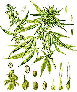 Конопля индийская—Cannabis sativa L. var. indica Lam