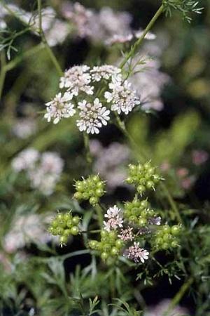 Кориандр—Conundrum sativum L.
