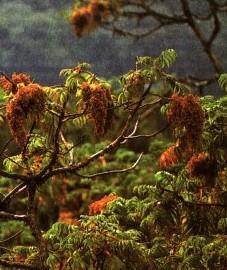 ����� � Hagenia abissinica Willd.