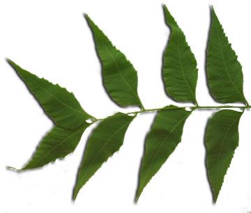 Мелия индийская, Маргоза— Melia azedarach L.