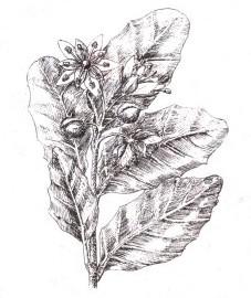 Мыльное дерево —Sapindus mucorossi Gaertn.