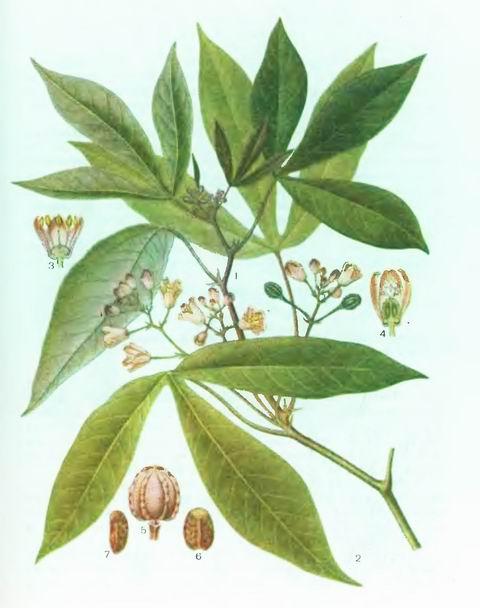 Маниок, Тапиока—Manihot esculenta Grantz