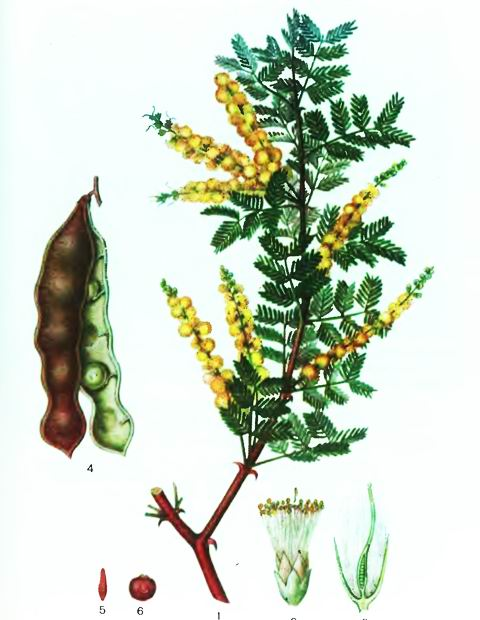 Аравийская акация—Acacia arabica Willd