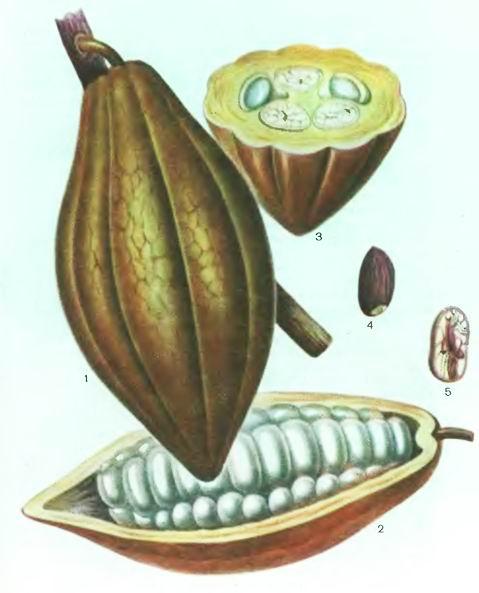 Какао, Шоколадное дерево—Theobroma cacao L.
