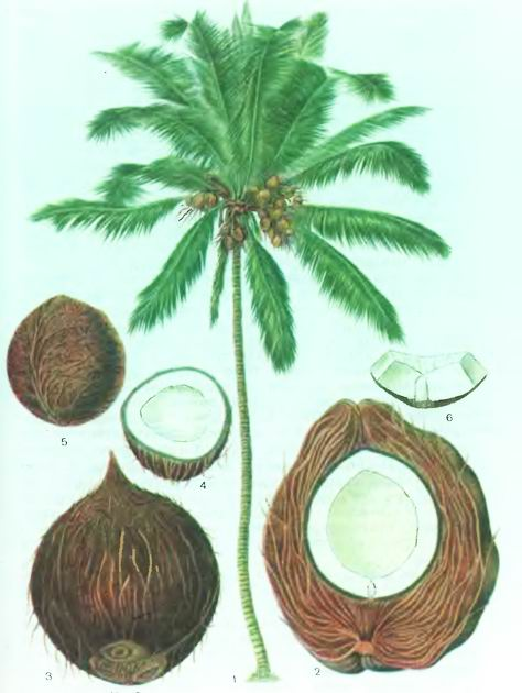 Кокосовая пальма— Cocos nucifera L.