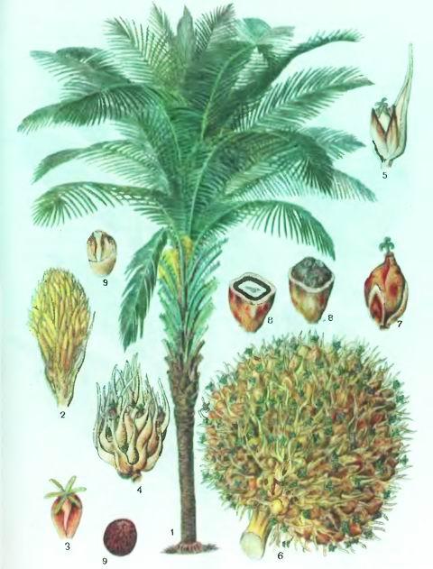 Масличная пальма—Elaeis guineensis Jacq.
