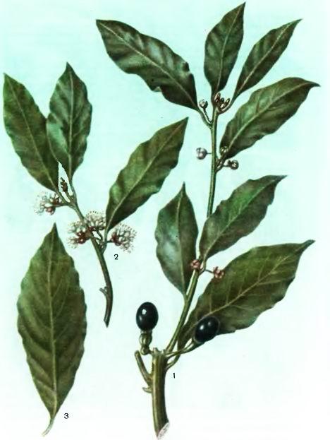 Лавр благородный—Laurns nobilis L.