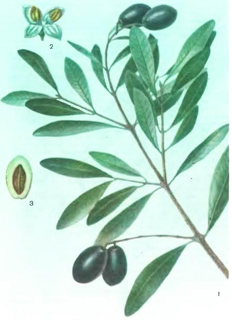 Маслина, Оливковое дерево—Olea europaea L.