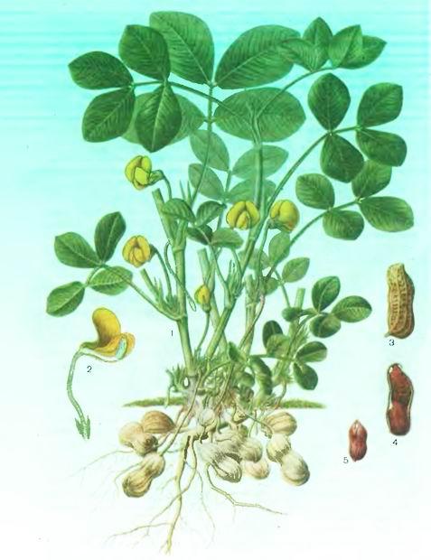 Арахис, Земляной орех— Arachis hipogaea L.