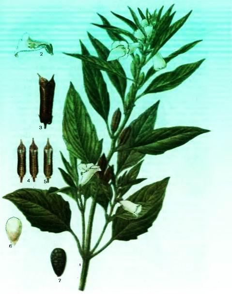 Кунжут —Sesamum indicum L.