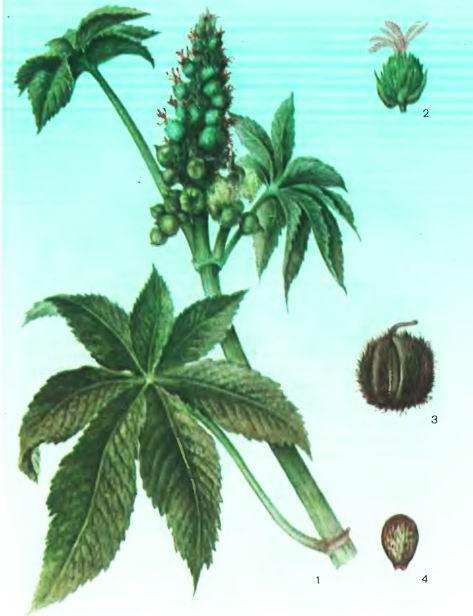Клещевина—Ricinus communis L.