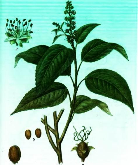 Кротон— Croton tiglium L.