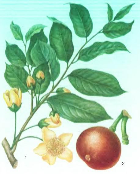 Гиднокарпус, Чаульмугра—Hydnocarpus knrzii King.