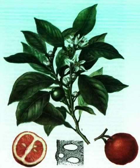 Цитрусы— виды Citrus L.