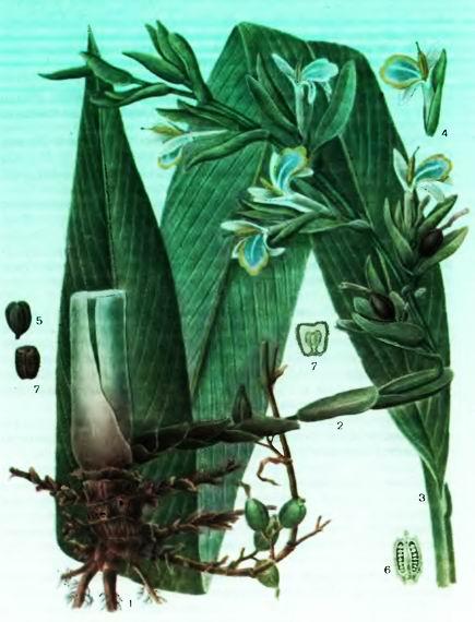 Кардамон—Elettaria cardamomum White et Maton.