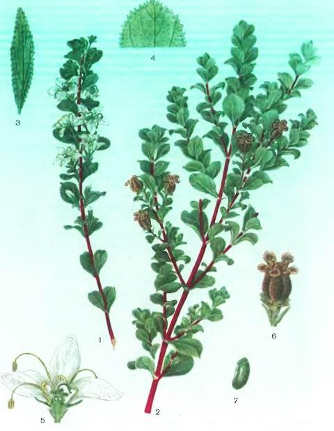 Букко—Barosma betulinum Bartl. et Wendl