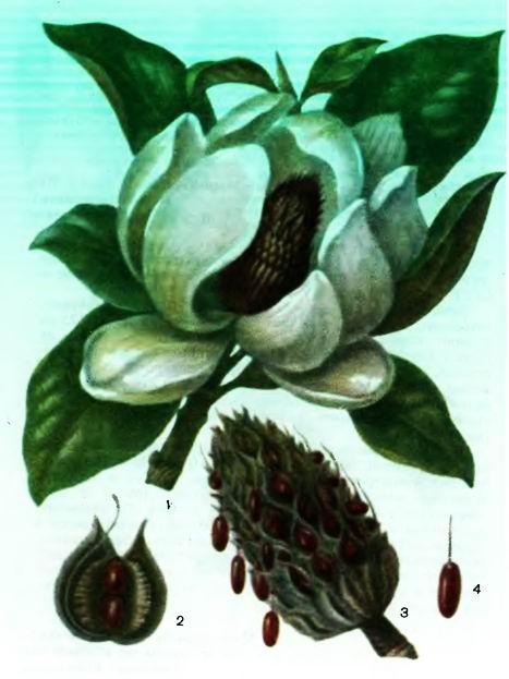 Магнолия—Magnolia officinalis Rend, et Wils