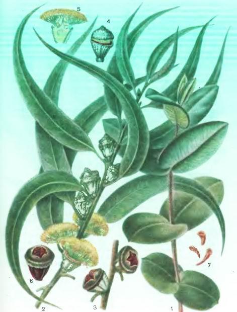 Эвкалипты— Eucalyptus globulus LabilL, E. сшетеа F.v. Mull