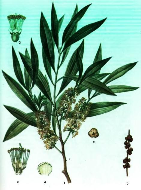 Мелалеука, Кайюпутовое дерево—Melaleuca leucadendron L