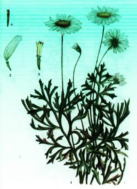 Пиретровые ромашки. Ромашка далматская — Pyrethrum cinerarifollium Trev,Ромашка кавказская— P.