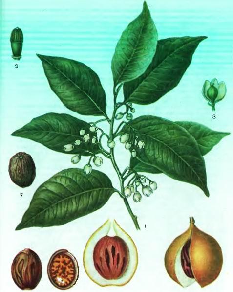 Мускатный орех—Myristica fragrans Houtt.