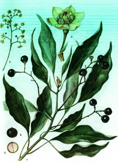 Камфорный лавр— Cinnamomum camphora (L.)