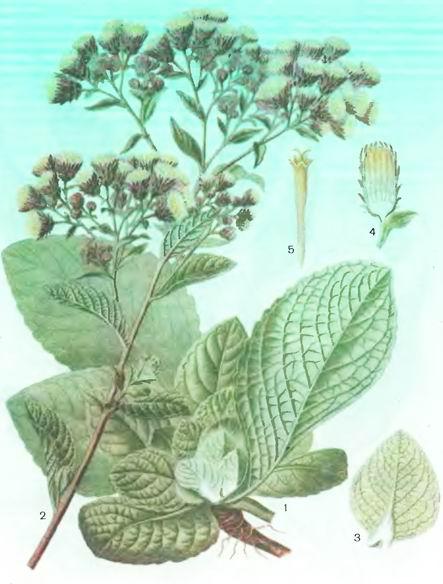 Кониза. Блюмея бальзамоносная— Conyza balsamifera L.