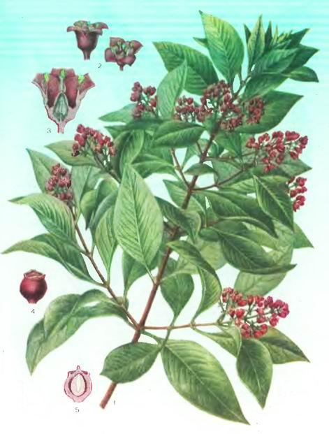 Сандаловое дерево—Santalum album L.