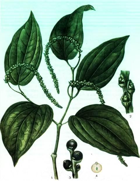 Перец черный—Piper nigrum L.