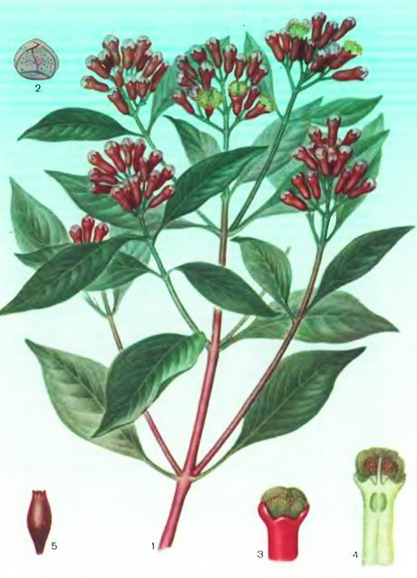 Гвоздичное дерево— Caryophyllus aromaticus L.