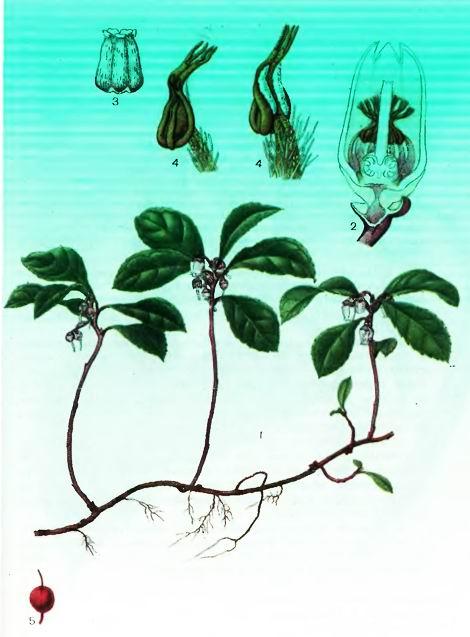 Гаултерия—Gaultheria prucumbens L.