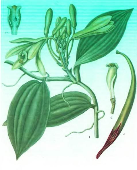 Ваниль— Vanilla planifolia Andr.
