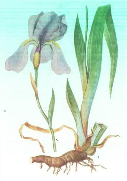 Касатики, Ирисы— Iris germanica L.
