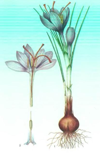 Шафран— Crocus sativus L.