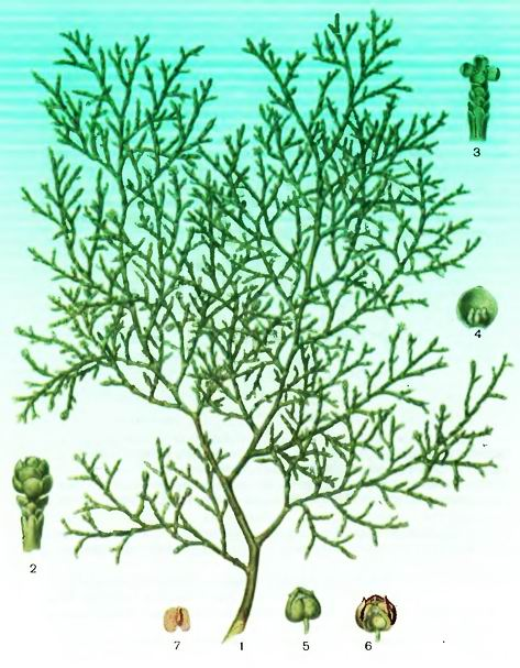 Сандараковое дерево—Callitris quadrivalis Vent