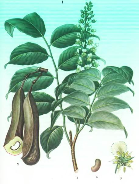 Мирок силон— Myroxylon