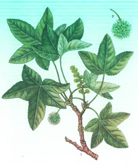 Ликвидамбар—Liquidambar orientalis Mill