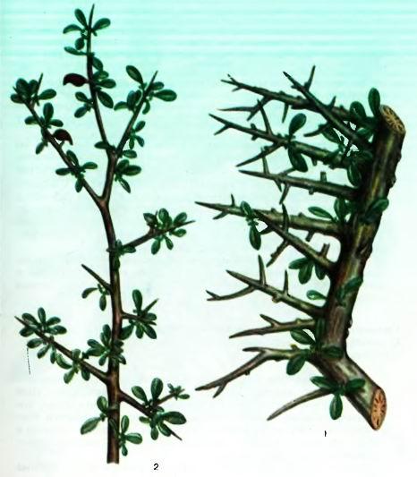 Копаифера— виды Copaifera L.