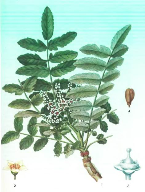 Ладанное дерево. Ладан—Boswellia carterii Birdw.