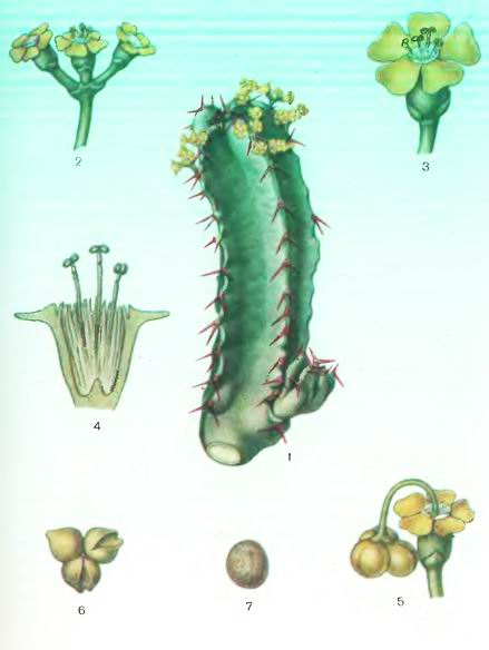 Эвфорбнй—Euphorbia resinifera Berg.